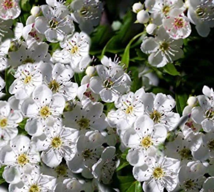 flor de tejocote