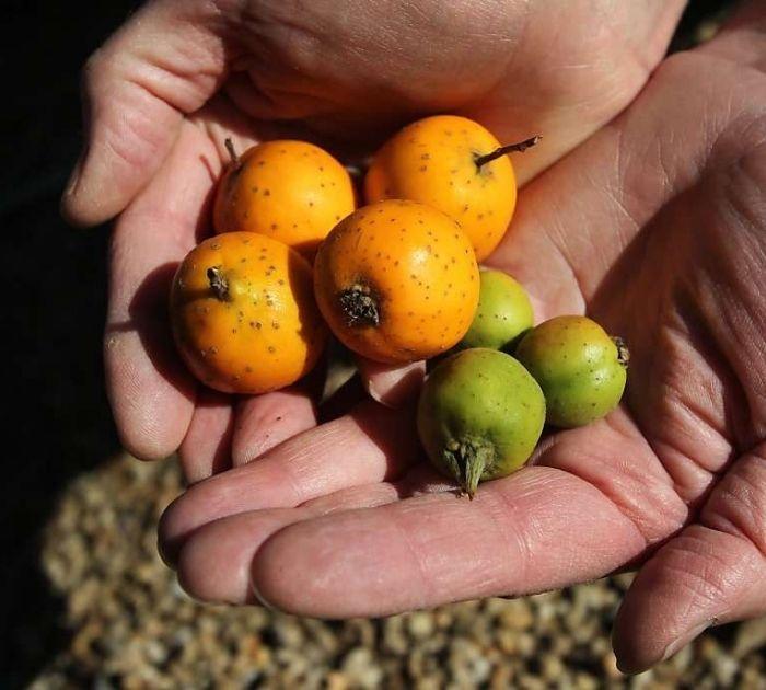 fruta de tejocote madura y verde