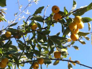 imagen-del-arbol-de-raiz-de-tejocote
